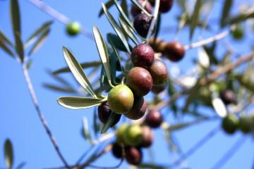 Olive Oil in Seville