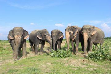 elephant experience Chanchal,-Bijli,-Laxmi,-Maya,-Phoolkali