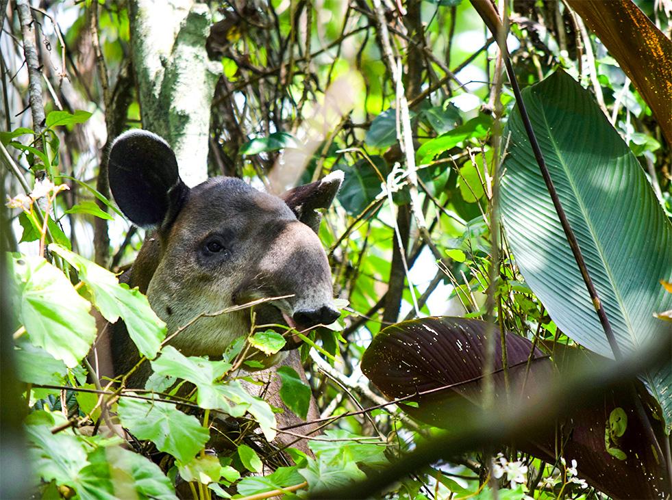 tapir in costa rica
