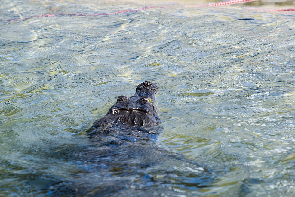 American crocodile in Costa Rica water