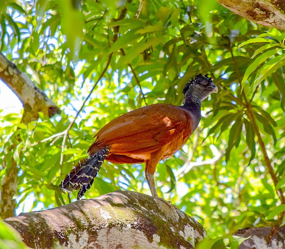 female currassow bird costa rica