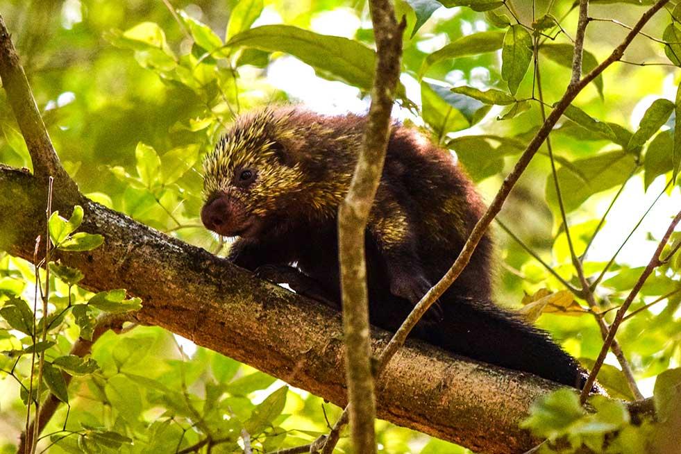 tree porcupine costa rica