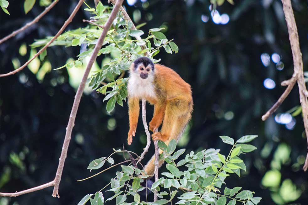 squirrel monkey in a tree in costa rica