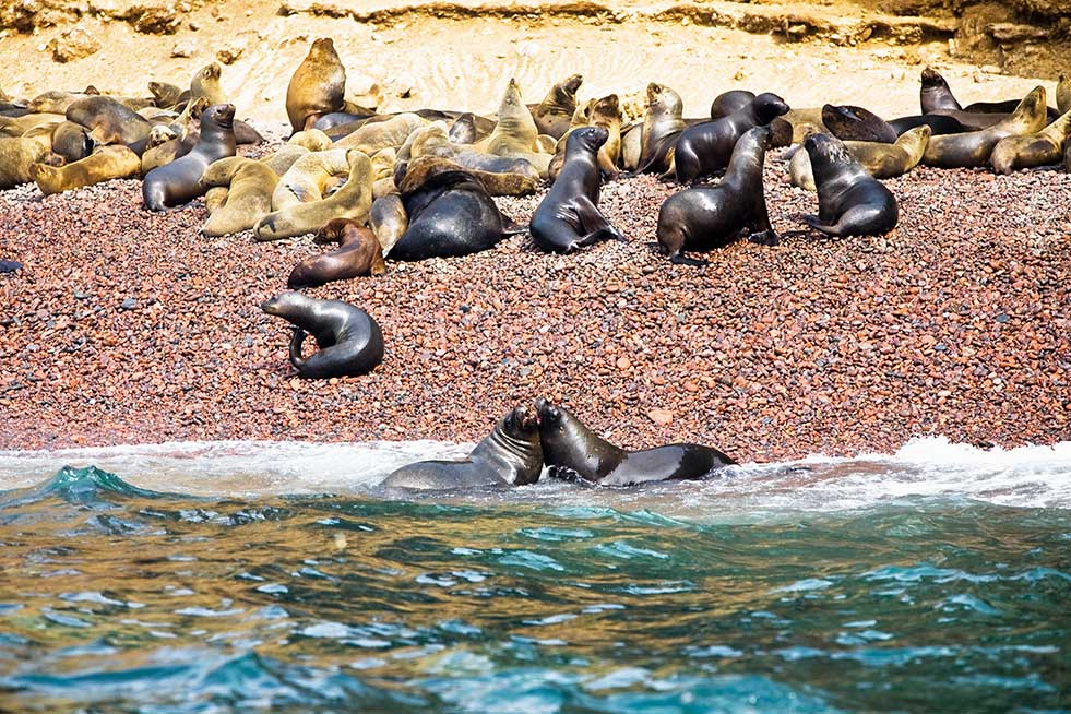 Seals on Ballestas islands peru