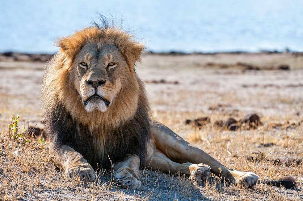 Mike Myers Cecil the lion africa photography