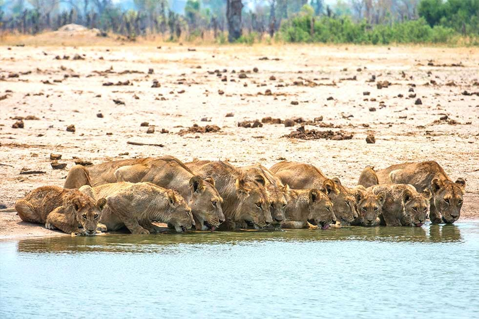 Mike Myers lions drinking photography africa