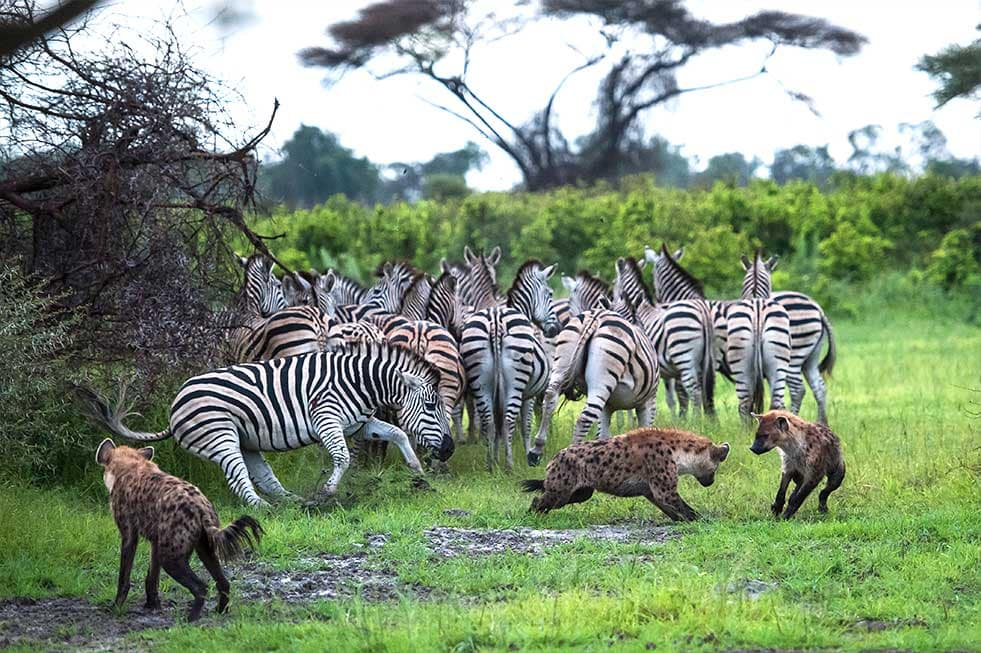 Mike Myers hyenas hunting zebras africa