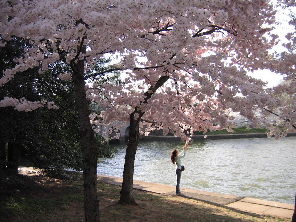 cherry blossom tree in bloom, washington DC