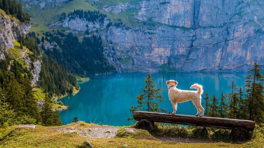 dog at lake oeschinen switzerland