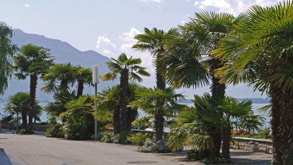 palm trees ticino switzerland