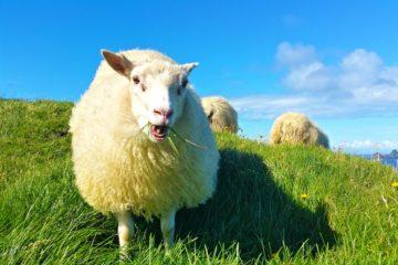 icelandic sheep eating grass