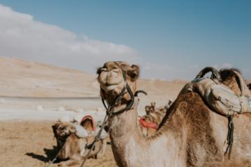 Camels in a desert in Israel