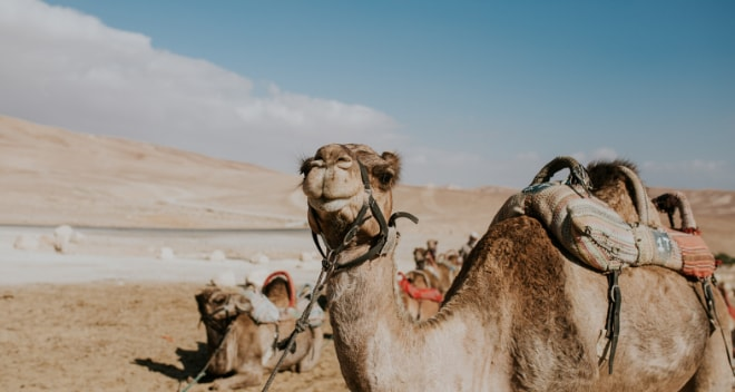 Camels in a desert in Israel