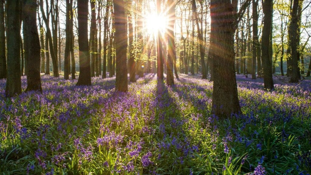 bluebell forest england springtime in europe