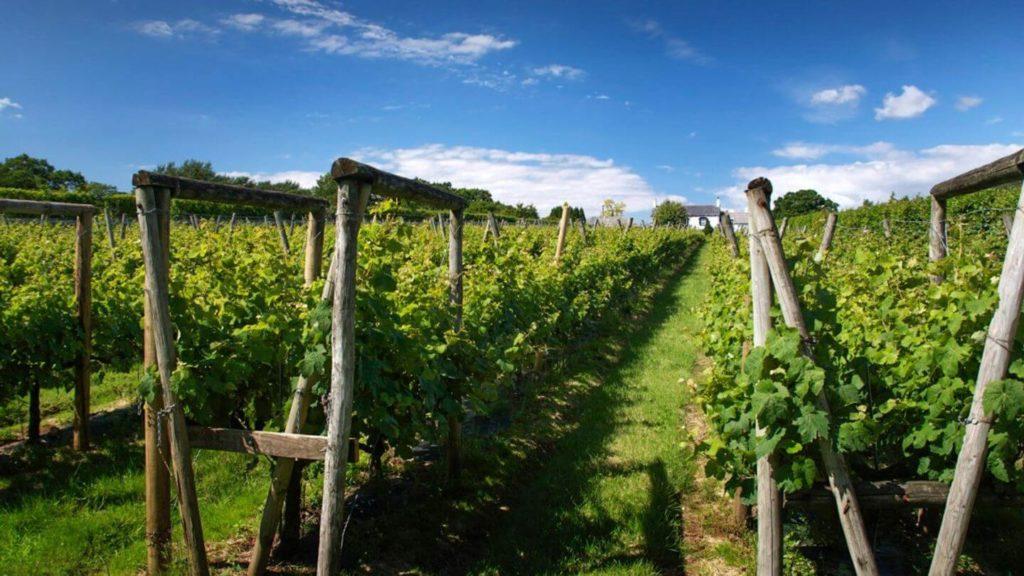 green vines Llanerch Vineyard Wales