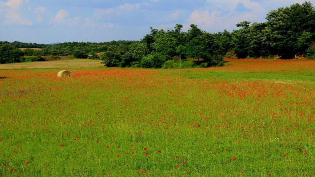 red poppy fields tuscany italy