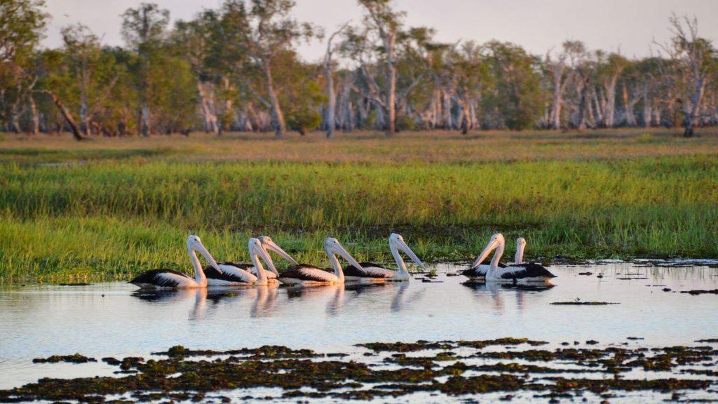 pelicans marshland Kakadu national park australia