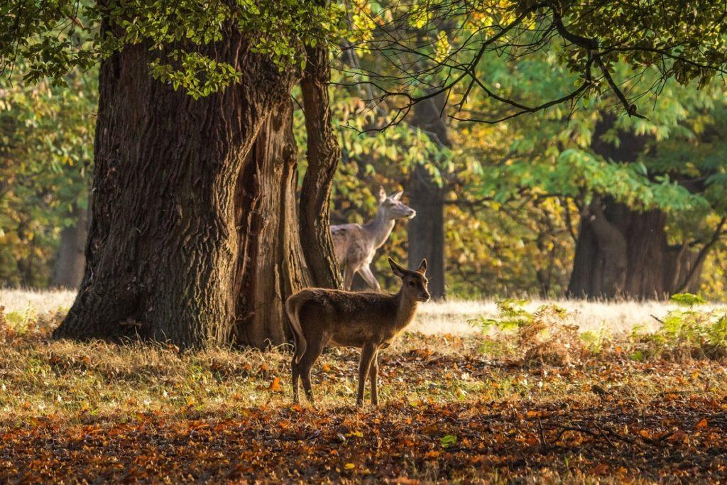 Deer in Windsor