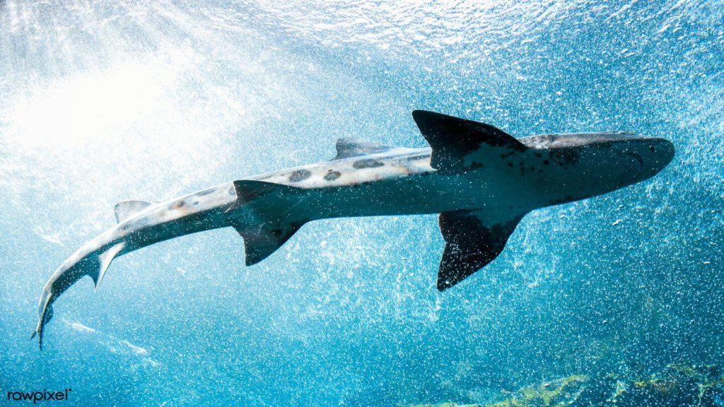 whale shark swimming Monterey Bay Aquarium virtual tours for kids