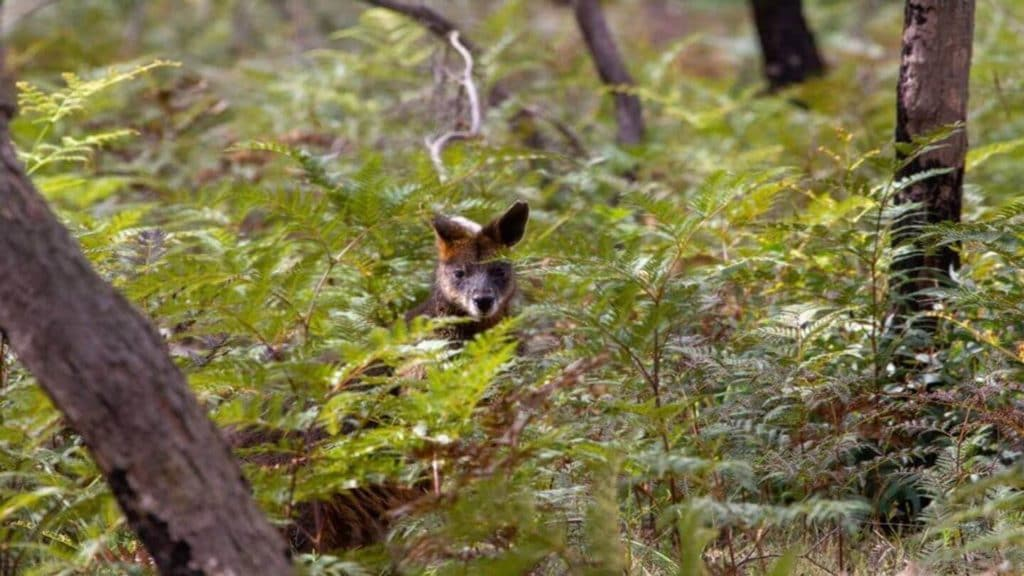 kangaroo peeking through the trees in the Australian bush