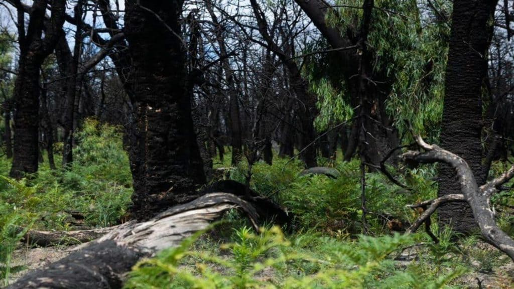 green foliage regrowing through burnt trees