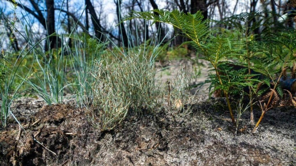 new shrubs and trees growing in burnt landscapes