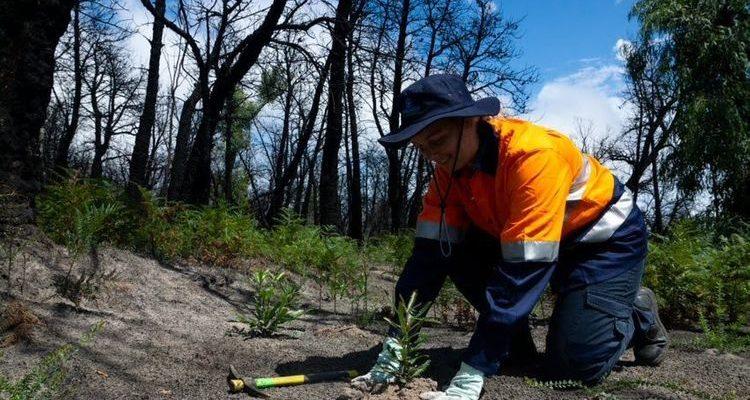 adult planting trees in burnt bush landscape