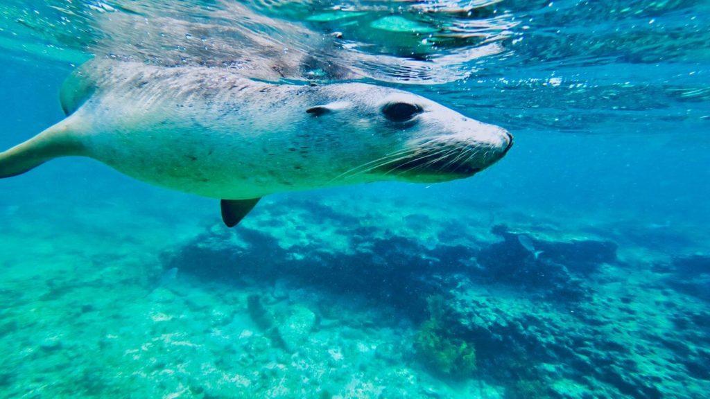 seal underwater at Penguin Island in Western Australia