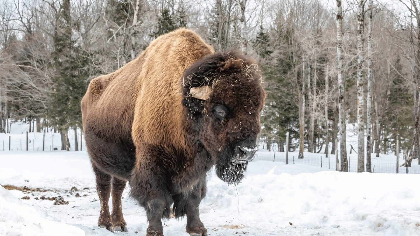 Bison in Wood Buffalo National Park