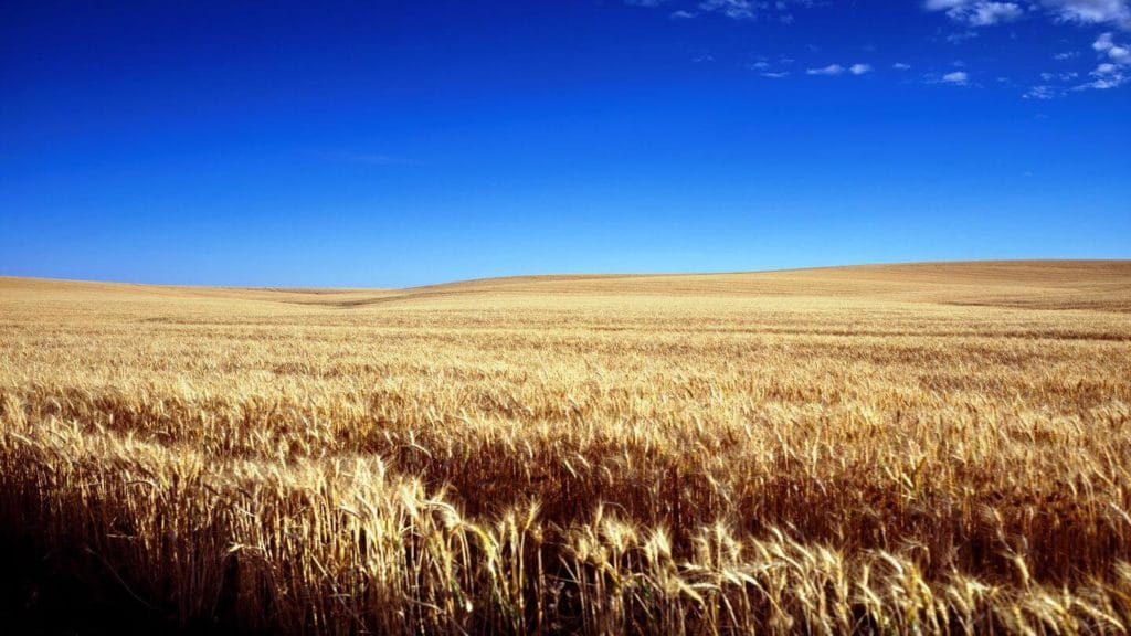 blue sky golden wheat field Kansas United States