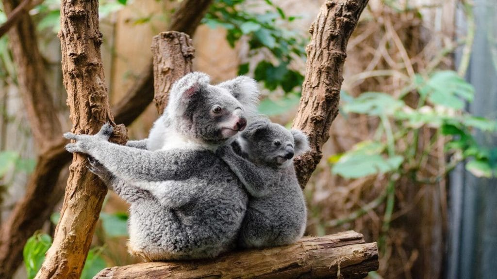 cuddly koala and baby sitting in tree