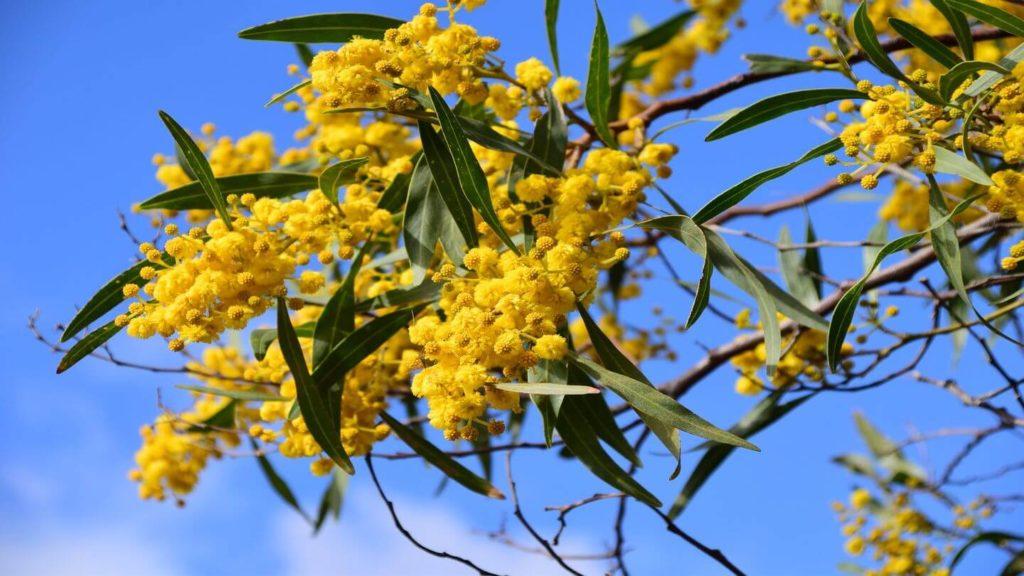 yellow wattle flowers native Australian flora