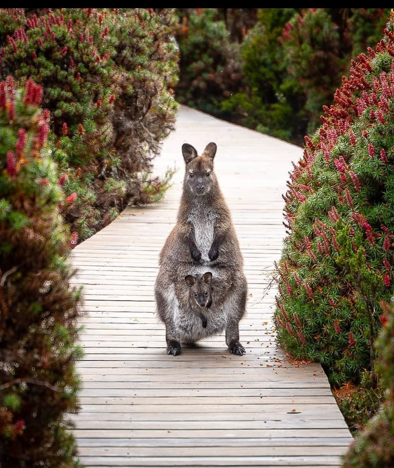 wallaby and her baby at Cradle Mt National Park