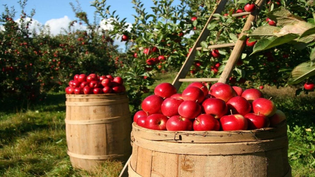 barrels of red apples apples trees travel in fall