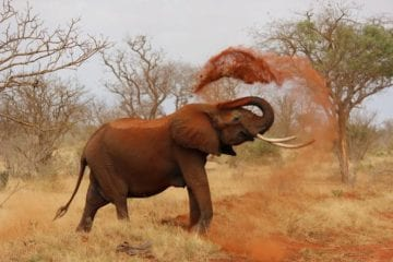 elephant tossing dust in Kenya best safari destinations in the world