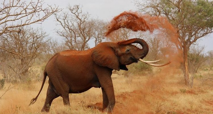 elephant tossing dust in Kenya best safari destinations in the world