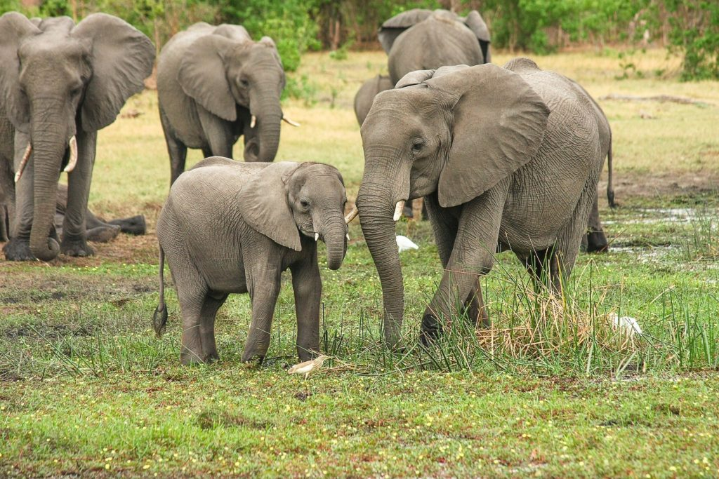 An adult and baby Indian elephant posing in the wild with other elephants and wildlife in the background