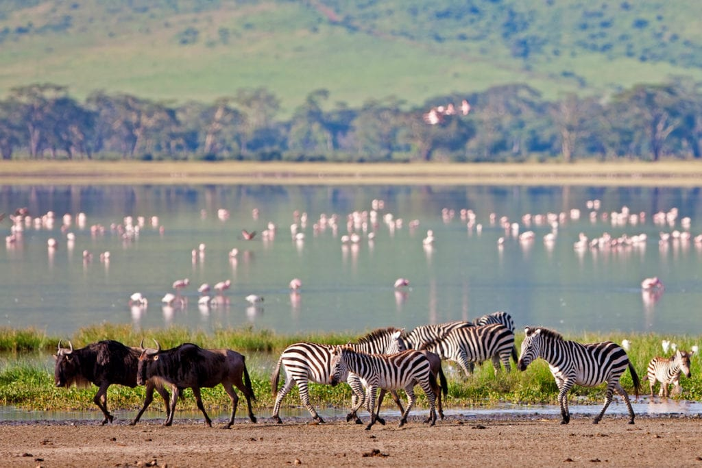 Zebras and a wildebeest walking beside the lake in the Ngorongoro Crater, Tanzania
