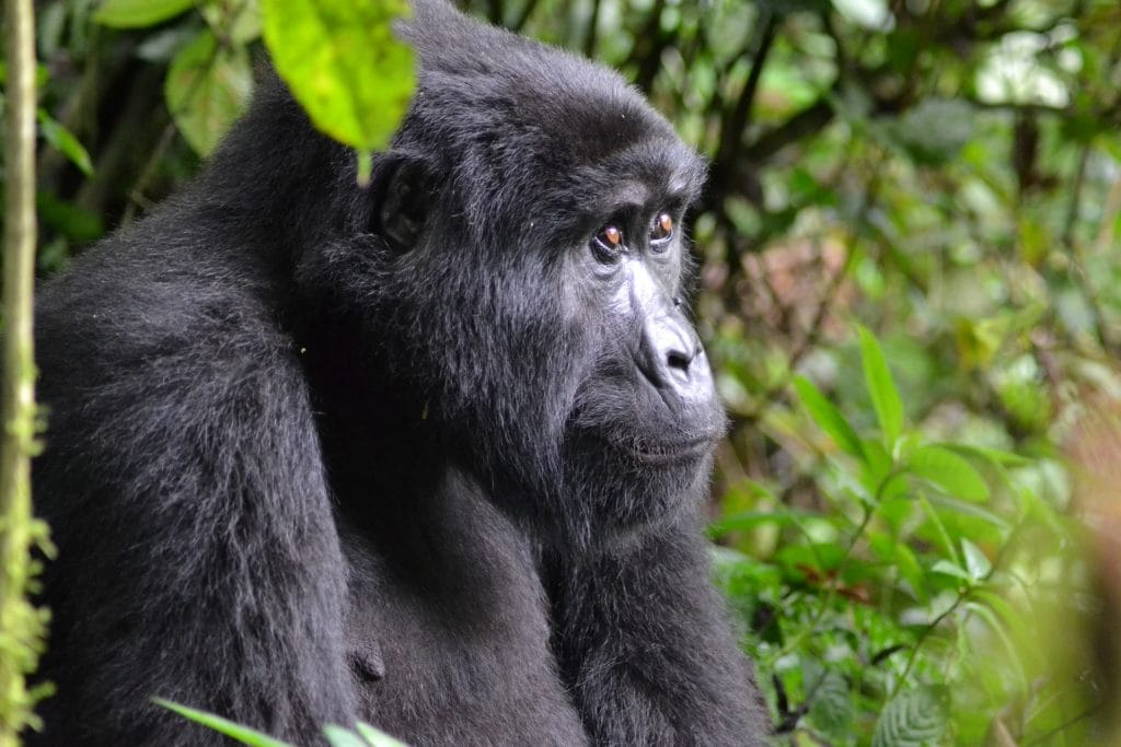 A adult mountain gorilla posing in the wild amongst greenery