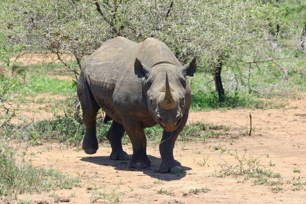 A black rhinoceros walking in the wild