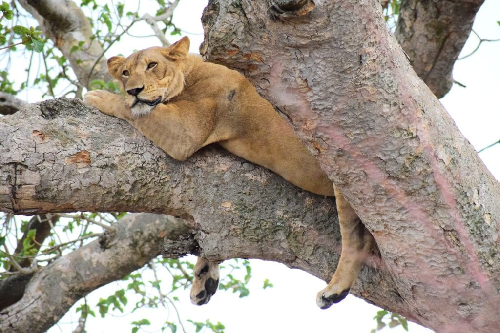 A famous tree-climbing lion spotted in Lake Manyara National Park