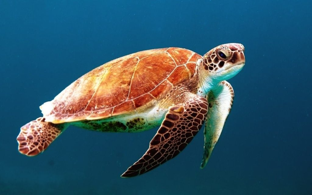A solo sea turtle swimming in the turquoise blue ocean waters