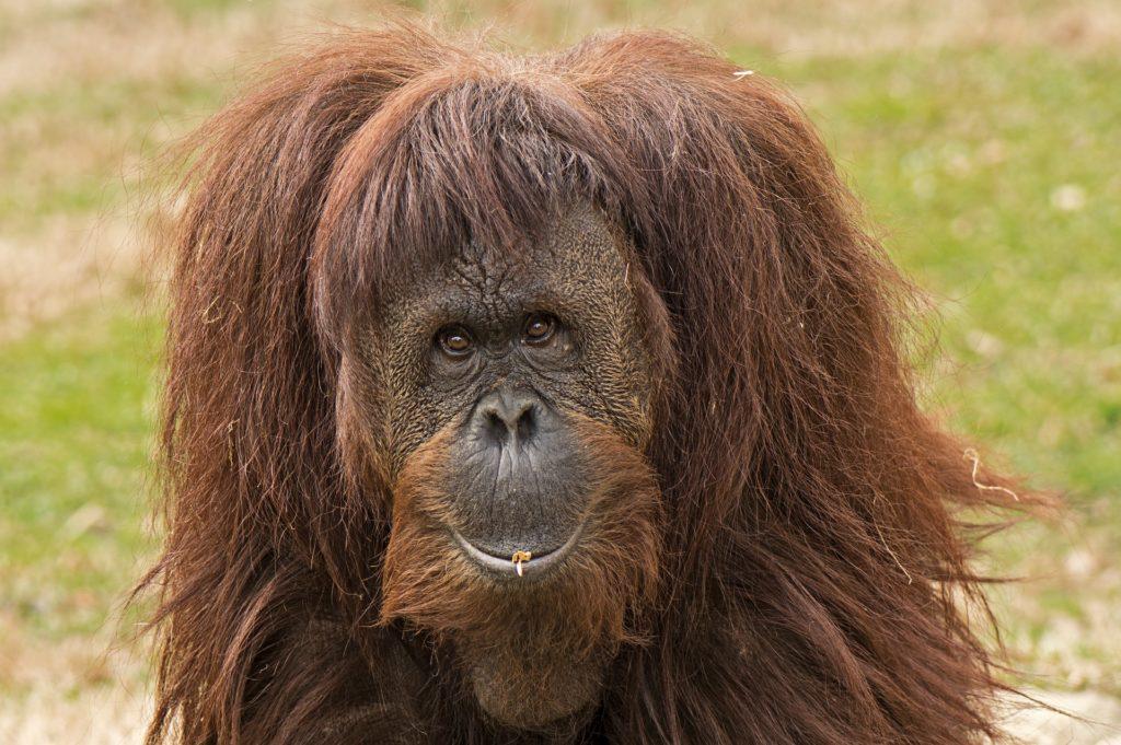 An adorable solo adult orangutan posing in the wild