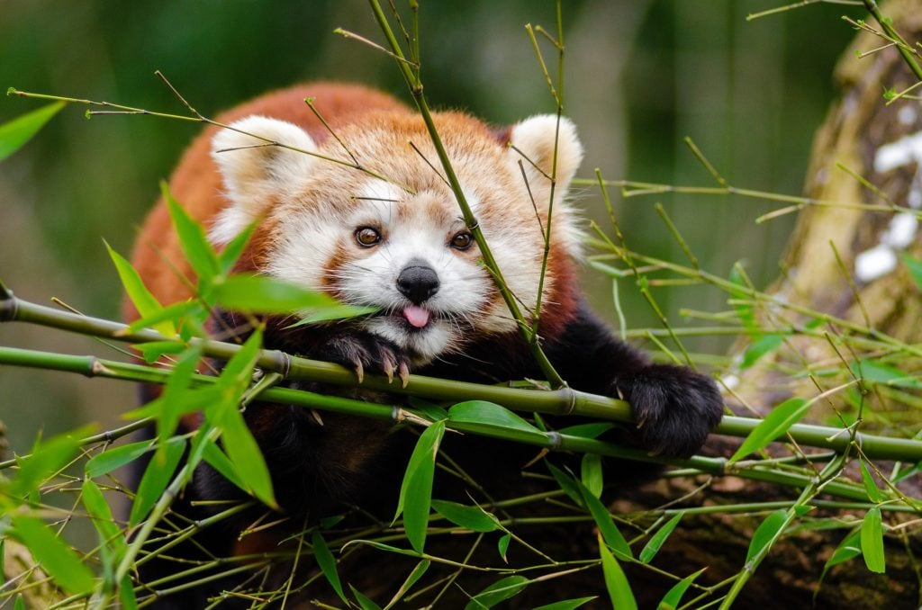 A cute red panada sticking out its tongue and holding a branch in mother nature