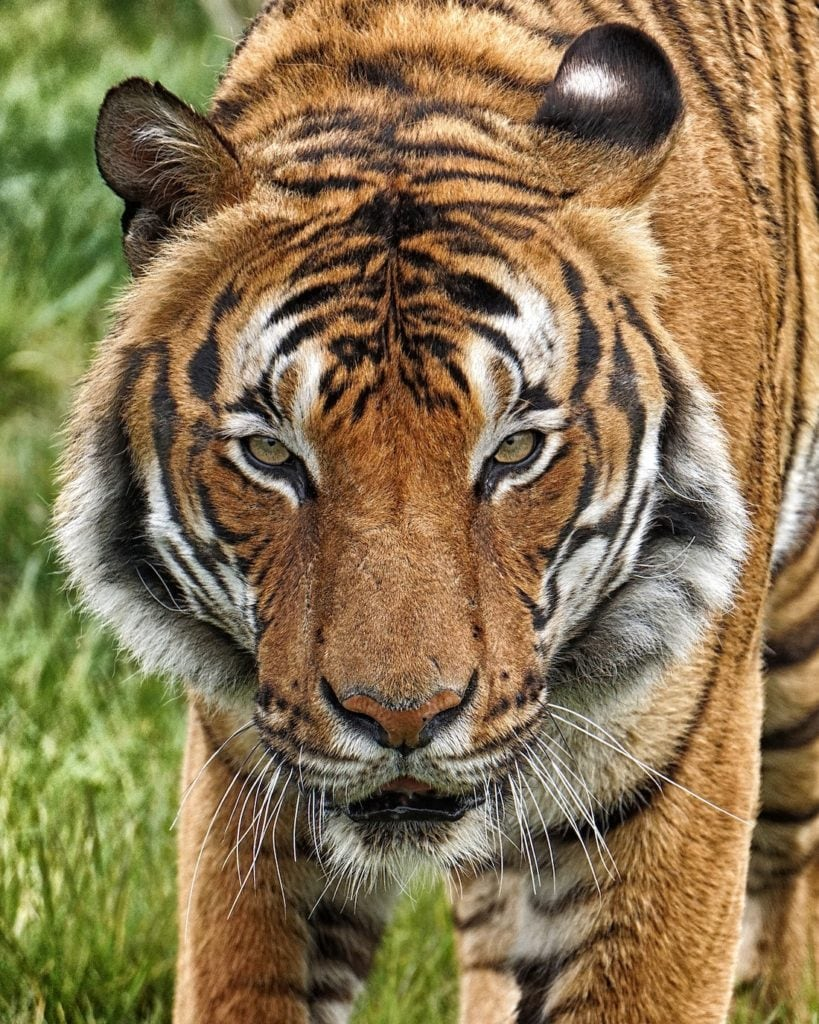 A single adult tiger posing in the wild amongst grass