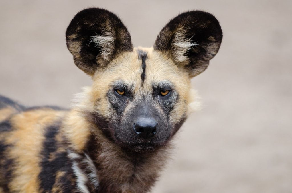 An African wild dog posing in its natural habitat