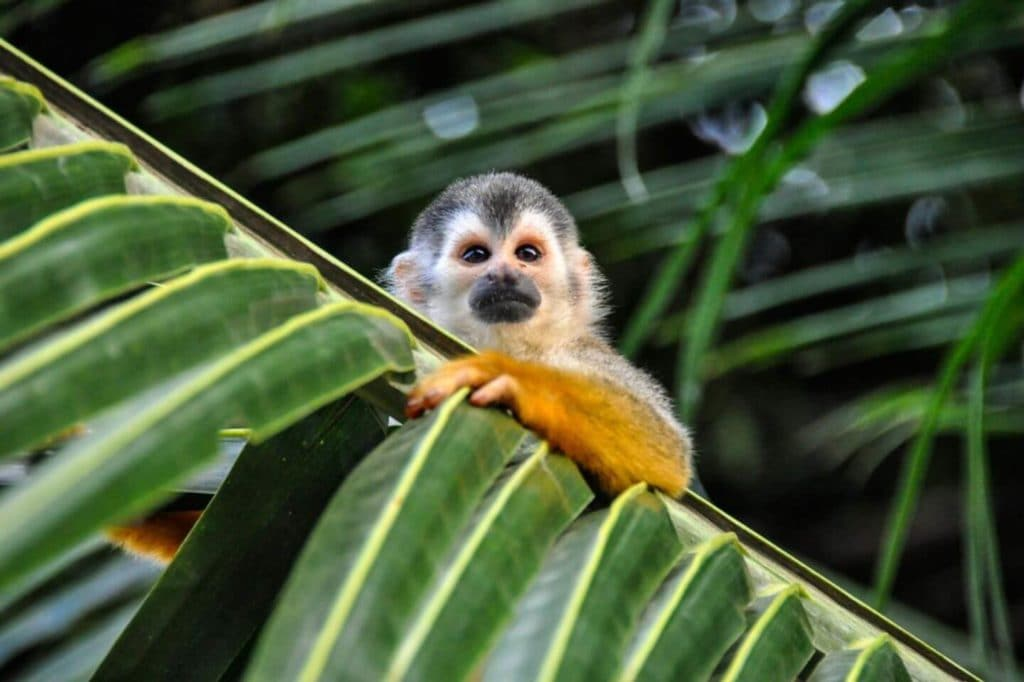 little monkey hanging on a leaf Costa Rica