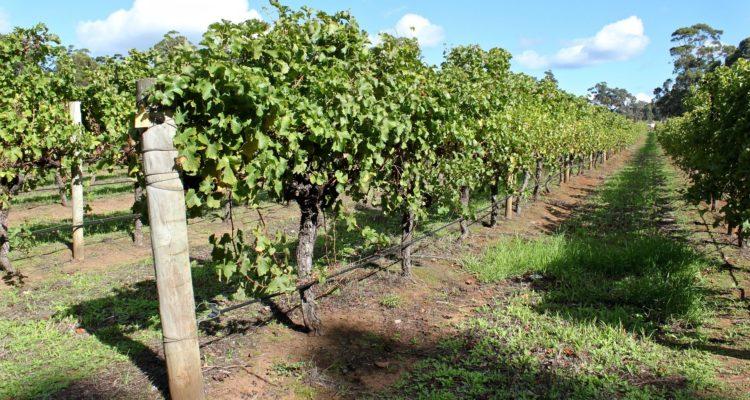 The stunning vineyards of Australia's Margaret River