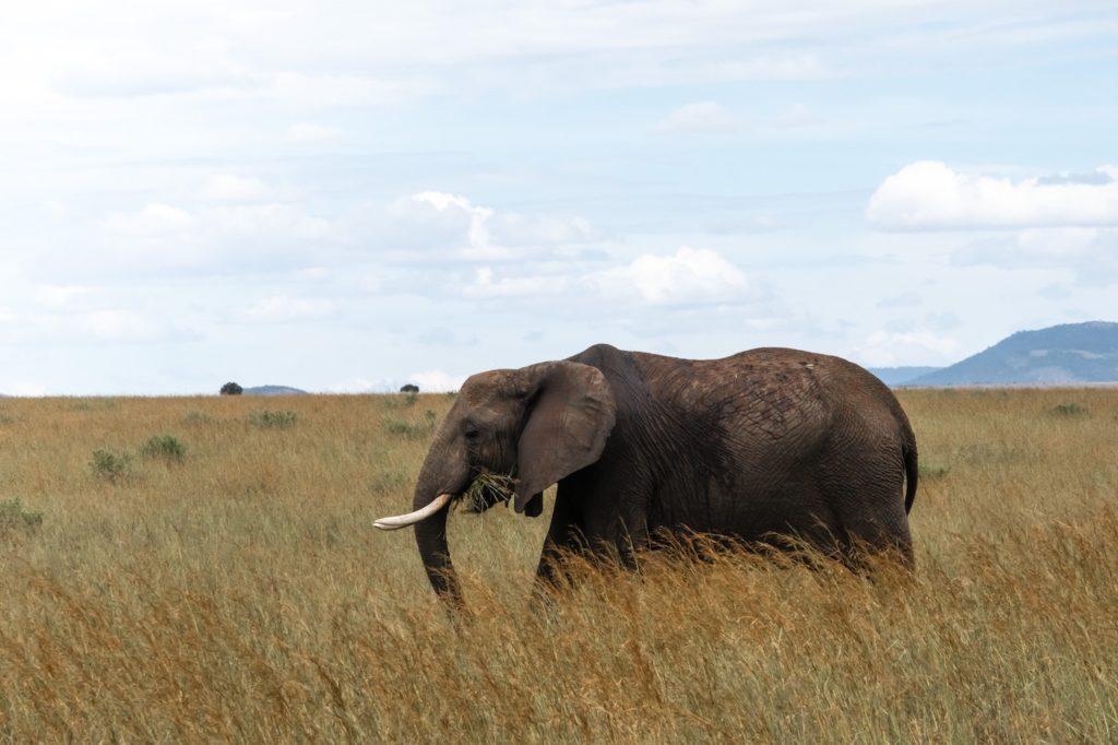 Maasai safari - elephant in grass