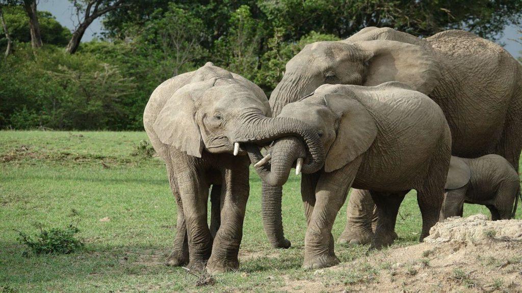 elephant herd Maasai Mara Kenya travelling in 2021